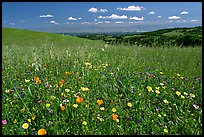 Meadows in the spring, with the Silicon Valley in the distance,  Russian Ridge Open Space Preserve. Palo Alto,  California, USA