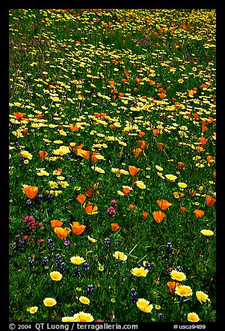 Meadows with wildflowers in the spring, Russian Ridge Open Space Preserve. Palo Alto,  California, USA (color)