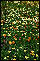Meadows with wildflowers in the spring, Russian Ridge Open Space Preserve. Palo Alto,  California, USA
