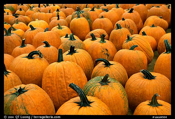 Pumpkins in a patch, near Pescadero. San Mateo County, California, USA (color)
