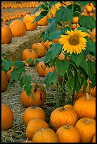 Sunflower and pumpkins. San Jose, California, USA