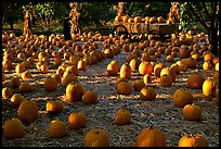 Pumpkin patch. San Jose, California, USA (color)