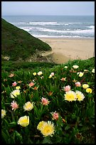 Iceplant flowers and Ocean. San Mateo County, California, USA ( color)