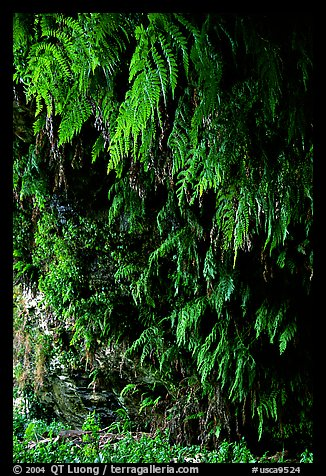 Fern grotto, Wilder Ranch State Park. California, USA (color)