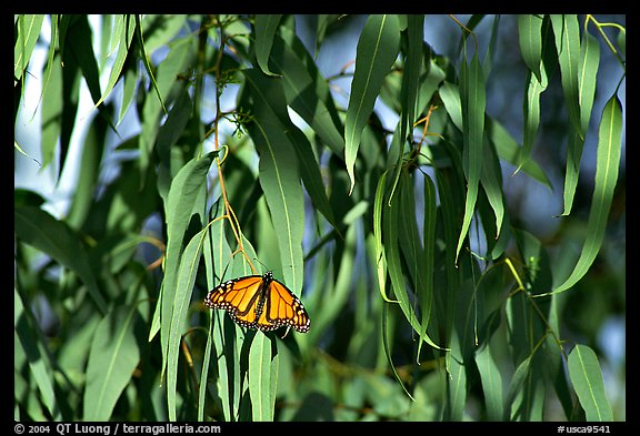 Monarch butterfly in Eucalyptus tree, Natural Bridges State Park. Santa Cruz, California, USA (color)