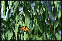 Monarch butterfly in Eucalyptus tree, Natural Bridges State Park. Santa Cruz, California, USA ( color)