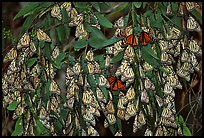 Cluster of Monarch butterflies, Natural Bridges State Park. Santa Cruz, California, USA ( color)