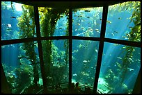 Kelp exhibit, Monterey Aquarium, Monterey. Monterey, California, USA (color)