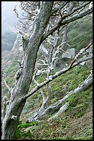 Trees on fog, Allan Memorial Grove. Point Lobos State Preserve, California, USA (color)