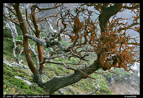 Carotene-covered cypress in fog, Allan Memorial Grove. Point Lobos State Preserve, California, USA (color)