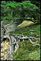 Roots of Veteran cypress tree. Point Lobos State Preserve, California, USA (color)