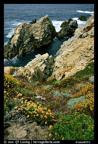 Pinnacle Cove and wildflowers. Point Lobos State Preserve, California, USA (color)