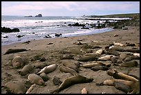 Elephant seals on a beach near San Simeon. California, USA (color)