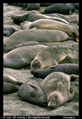 Elephant seals colony, Piedras Blancas. California, USA (color)