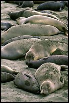 Elephant seals on a beach near San Simeon. California, USA ( color)