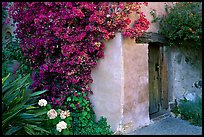 Flowers and wall of Mission. Carmel-by-the-Sea, California, USA ( color)