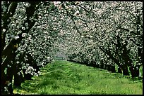 Orchards trees in bloom, San Joaquin Valley. California, USA