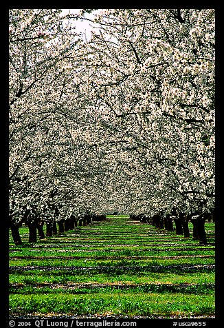 Orchards trees in bloom, Central Valley. California, USA (color)