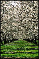 Orchards trees in bloom, Central Valley. California, USA