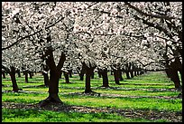 Orchards trees in blossom, Central Valley. California, USA ( color)