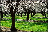 Orchards trees in blossom, San Joaquin Valley. California, USA (color)