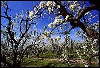 Orchards trees in blossom, Central Valley. California, USA