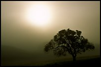 Sun, fog and oak tree, San Joaquin Valley. California, USA (color)