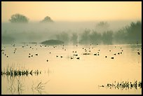 Fog  and water birds, Kern National Wildlife Refuge. California, USA (color)