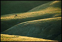 Cow on hilly pasture, Southern Sierra Foothills. California, USA (color)