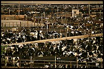 Cattle, Central Valley. California, USA (color)