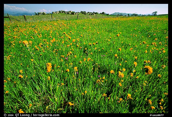 Wildflowers and fence, Central Valley. California, USA