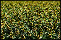 Sunflowers, Central Valley. California, USA (color)
