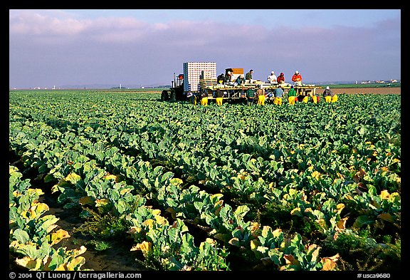 lettuce harvest, Salinas Valley. California, USA (color)