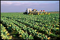 lettuce harvest, Salinas Valley. California, USA