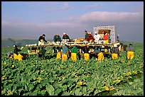 Farm workers picking up salads, Salinas Valley. California, USA ( color)