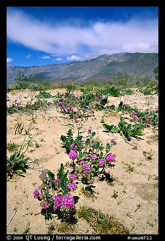 Purple desert wildflowers, San Ysidro Mountains. Anza Borrego Desert State Park, California, USA (color)