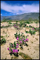 Purple desert wildflowers, San Ysidro Mountains. Anza Borrego Desert State Park, California, USA