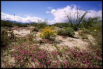 Desert wildflowers and Ocatillo. Anza Borrego Desert State Park, California, USA ( color)