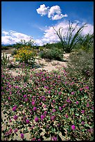 Desert wildflowers and Ocatillo. Anza Borrego Desert State Park, California, USA