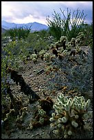 Cactus in cresote brush in bloom. Anza Borrego Desert State Park, California, USA