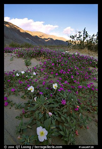 Daturas and pink wildflowers, evening. Anza Borrego Desert State Park, California, USA (color)