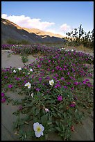 Daturas and pink wildflowers, evening. Anza Borrego Desert State Park, California, USA