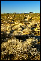 Desert grasslands. Mojave National Preserve, California, USA