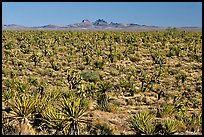 Joshua Trees and Cima Mountains. Mojave National Preserve, California, USA (color)