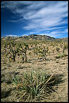 Yuccas, Joshua Trees and Cima Mountains. Mojave National Preserve, California, USA (color)