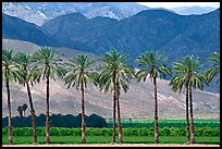 Palm trees and fields in oasis, Coachella Valley. California, USA