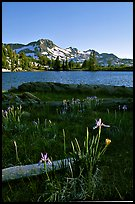 Wild Iris and Frog Lake, afternoon. Mokelumne Wilderness, Eldorado National Forest, California, USA