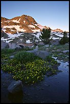 Flowers and Round Top Mountain, sunrise. Mokelumne Wilderness, Eldorado National Forest, California, USA