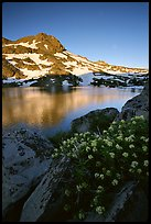 Flowers, Winnemucca Lake,  and Round Top Peak, sunrise. Mokelumne Wilderness, Eldorado National Forest, California, USA