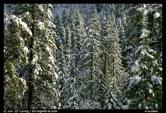 Snowy pine trees, Eldorado National Forest. California, USA (color)